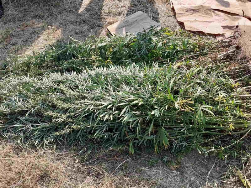 Пронајдени 112 стебла канабис во делчевско (ФОТО)